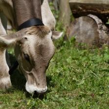 Rinderhaltung